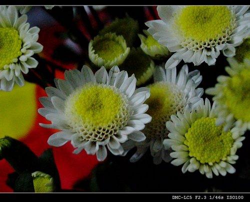 没完没了的菊花